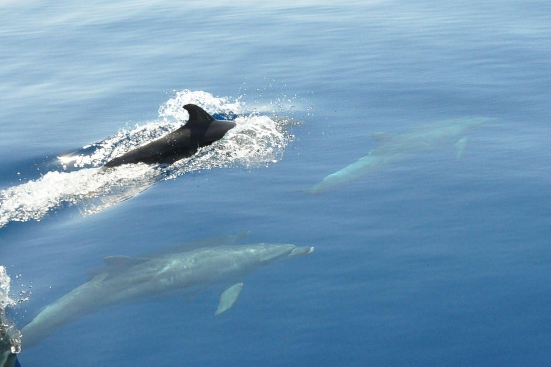 Adventure Sailing Trip Dubrovnik Croatia, dolphins